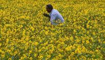 Prashant Bhushan questions approval for GM mustard in letter to Anil Dave