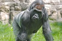 WATCH: 'Stressed' 7-Ft Gorilla Sparks Panic After Banging Window, Escaping Glass Enclosure
