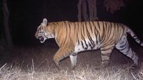 Camera Traps Now Key Tool in Identifying Tigers