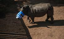 16 Operations For Rhino Attacked By Poachers, Now Has Screws In Skull