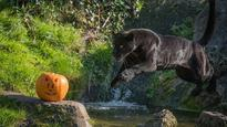 See how 10 different animals at Chester Zoo interact with their spooky pumpkin treats