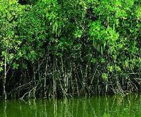 Mangrove cover axed for CM Naveen Patnaik's visit