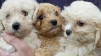 Puppies seized in dog breeding probe