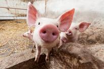 Farm testing begins for the Canadian Pork Excellence program