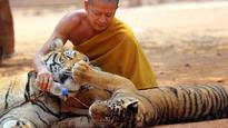 16:01'Tiger Temple' big cats taken away from Buddhist monks