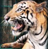 Finally, SSKM admits tiger attack survivor