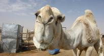 Camel Breaks Free but Finds Itself in Russian City of Kazan
