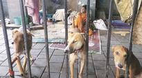 Homeless couple assists animal lover in taking care of stray dogs in South Mumbai