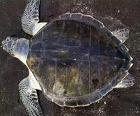 Honnavar forest dept on a mission to conserve endangered species of turtle