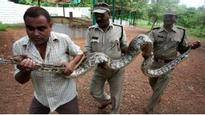Snakes on a pitch in India