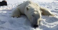 As Norway's Arctic draws visitors, more polar bears get shot