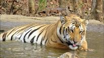 400 villages in 100 days: Search for famous tiger 'Jai' continues