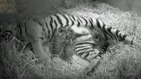 Cute! Sumatran tigress gives birth to world's rarest twin cubs