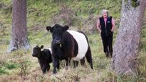 Belted galloway cows are easy on the eye and good mothers