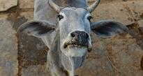 Hindu Cow Crusaders Force Muslim Beef Smugglers to Consume Cattle Dung