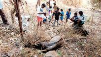 Locals rescue dehydrated sambar