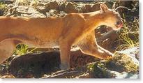 Mountain lion attacks 2 dogs, kills 1 near Ketchum, Idaho