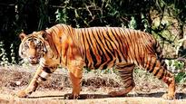 Camera traps set to double in tiger-bearing states