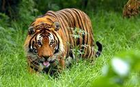 Tiger starves to death at Corbett Tiger Reserve