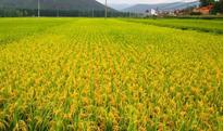 New red-violet type hybrid rice successfully tested in China