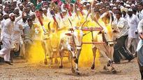 Court upholds bullock cart race ban in Maharashtra