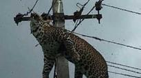 Leopard found electrocuted atop 12-foot pole, baffles all