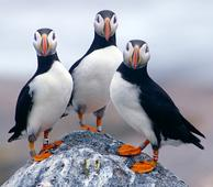 Puffin Wintering Grounds Need To Be Protected