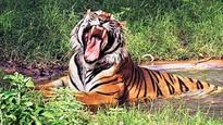 UP: Tiger kills man near Maheshpur forest range