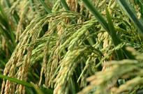 Rice will be cheap in 2017  Farmers