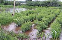 Discharge from Almatti dam floods farms on Krishna banks