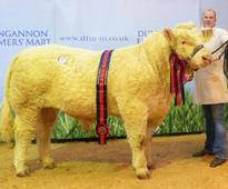 Charolais bulls in high demand at Dungannon show and sale