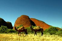 Camels Causing Major Problems in Australia