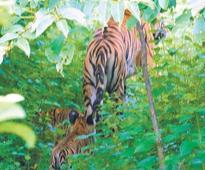 Ken-Betwa link a threat to tiger habitat: panel