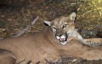 Malibu mountain lion gets reprieve from dead alpacas owner