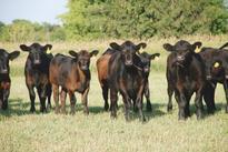 6 Trending Headlines: GIPSA returns; PLUS: Strategic cattle marketing decisions