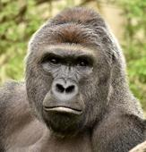 Cincinnati Zoo deactivated its social media accounts after onslaught of Harambe memes