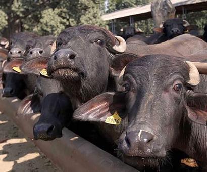 3 men thrashed for transporting buffaloes in Delhi, arrested