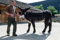 EUROCOPA 2016 POLONIA - Un burro de un zoo polaco pronostica con dificultad el Irlanda del Norte-Polonia