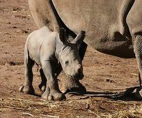 New arrival: baby white rhino born at Western Plains Zoo