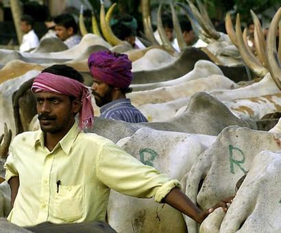 How the slaughter ban threatens India's dairy industry