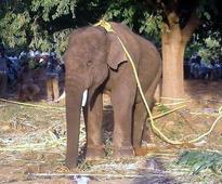Killer tusker captured, to be sent to Tirupati zoo