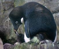 An Iceberg The Size Of Rome Has Killed 150,000 Penguins