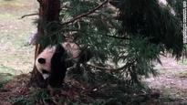 Watch cute panda cub play outside for first time