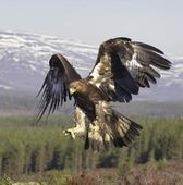 Fresh fears for birds of prey as eighth rare eagle vanishes