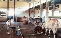 Chhattisgarh: BJP leader arrested after 200 cows starve to death at gaushala