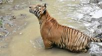 Tiger population increases in Sathyamangalam Tiger Reserve
