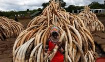 Kenya torches world's biggest ivory bonfire to... A traditional Maasai tribesman holds an elephant tusk, part of an estimated ...