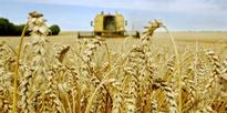 Cereals: Tunisia to increase rate of using pedigreed seeds to 550,000 quintals by 2020