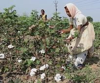 Cotton trading to begin in Adilabad on Oct. 28
