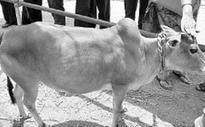 Illegal export of embryos killing Punganur cow